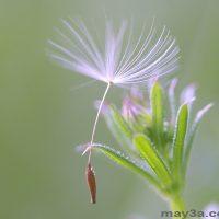 Cách trồng hoa bồ công anh