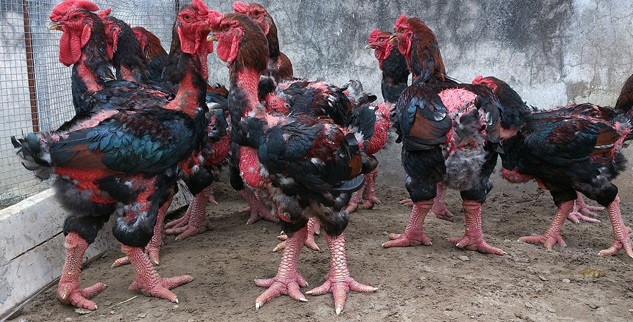 Kỹ thuật nuôi gà Đông Tảo chân khủng