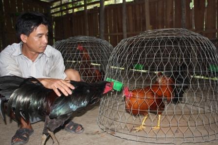 Kỹ thuật nuôi dưỡng gà chọi chiến