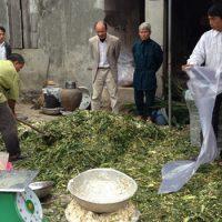ủ chua cây ngô làm thức ăn gia súc