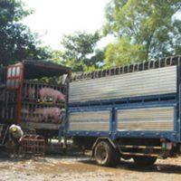Việt Nam chưa được phép xuất khẩu heo sang trung quốc