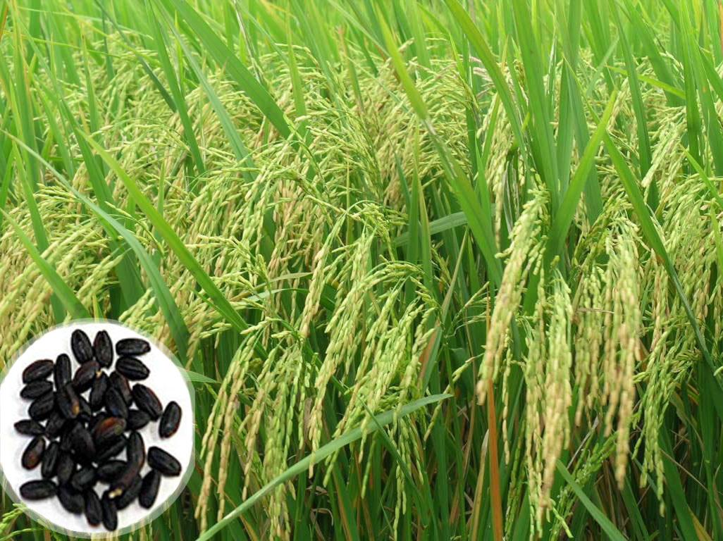 gạo dược liệu