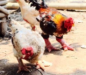 Kỹ thuật nuôi gà Đông Tảo sinh sảnKỹ thuật nuôi gà Đông Tảo sinh sản