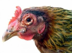 Kỹ thuật nuôi gà Đông Tảo sinh sản