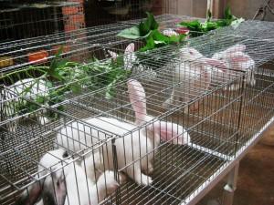 Kỹ thuật nuôi thỏ