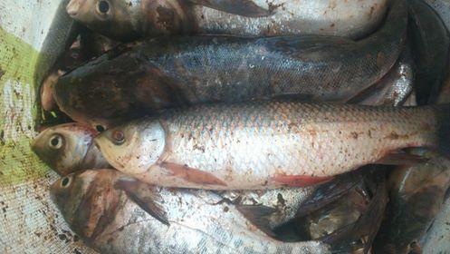 Ủ phân cá