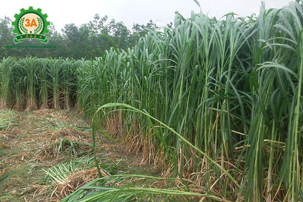 Cỏ voi ngày càng được trồng nhiều ở các địa phương - Máy cắt cỏ cho bò 3A8HP