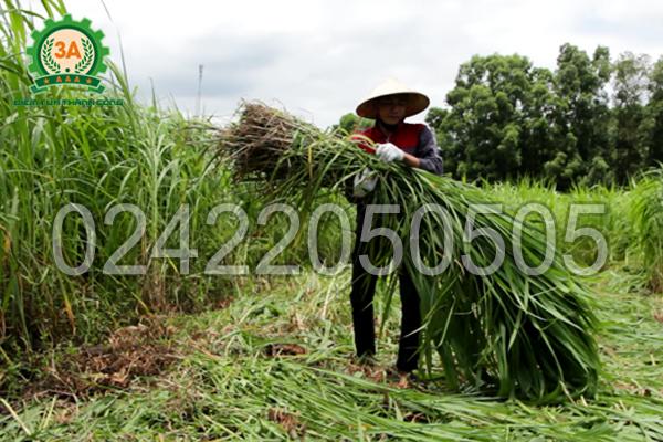 Máy cắt cỏ cho bò 3A8HP giúp bà con tiết kiệm chi phí thuê nhân công cắt cỏ