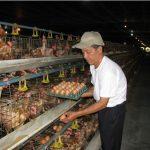 Kỹ thuật nuôi gà ta đẻ trứng đạt hiệu quả cao