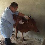 Đẩy mạnh công tác tiêm vắc xin phòng bệnh cho gia súc vụ thu đông