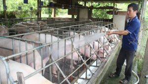 Kỹ thuật chăm sóc lợn nái chửa - Tắm mát cho lợn