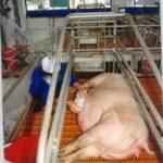 Kỹ thuật chăm sóc lợn nái mang thai (lợn nái chửa)