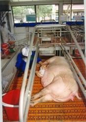 Kỹ thuật chăm sóc lợn nái chửa - Vệ sinh và xoa bầu vú cho lợn chửa trước khi đẻ 7-10 ngày