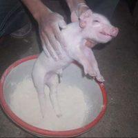 Các bước xử lý khi lợn nái đẻ - Lau lợn con