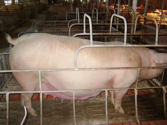 Các bước xử lý khi lợn nái đẻ