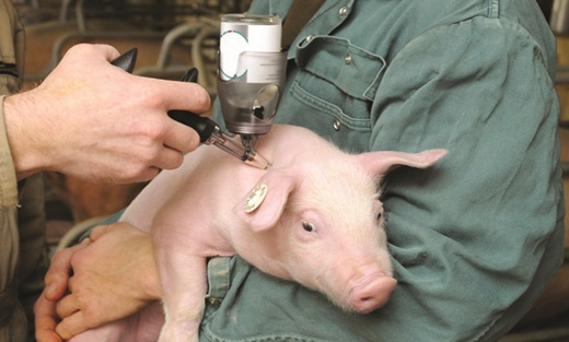 Cách chăm sóc lợn con mới đẻ - tiêm sắt