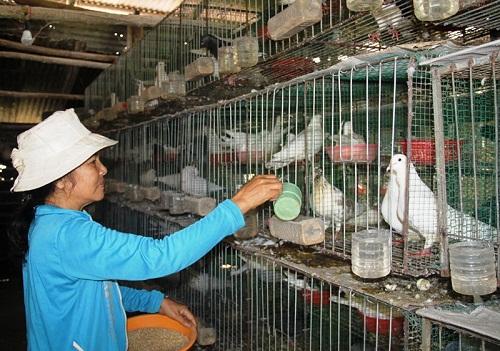 kỹ thuật nuôi chim bồ câu sinh sản - thức ăn cho chim