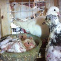 kỹ thuật nuôi chim bồ câu sinh sản - chăm sóc chim bồ câu