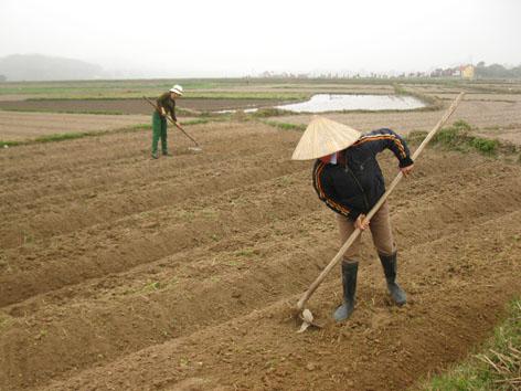 Kỹ thuật trồng rau cải cúc - Làm đất
