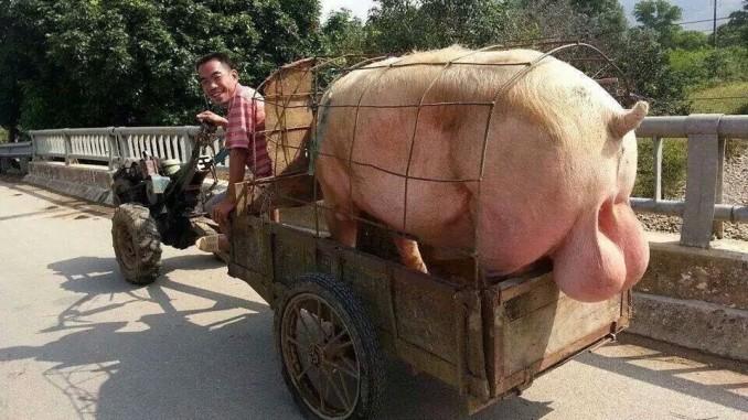 Kỹ thuật chọn và chăm sóc lợn đực giống hiệu quả
