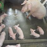 Các bệnh thường gặp trên lợn nái sau khi sinh