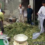 Hướng dẫn ủ chua cây ngô và phụ phẩm từ cây ngô