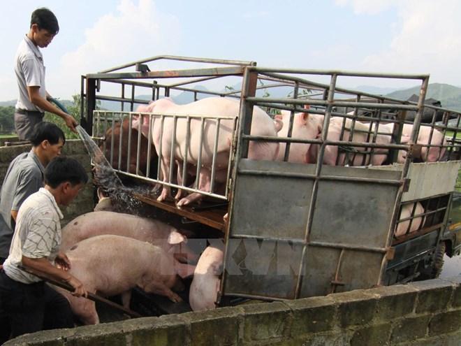 Đàm phán xuất khẩu chính ngạch thịt lợn sang Trung Quốc - Cung cấp lợn thương phẩm cho thị trường