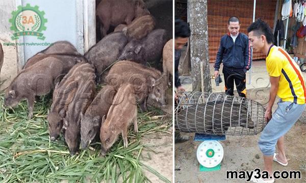 Hướng dẫn chế biến thức ăn cho lợn rừng