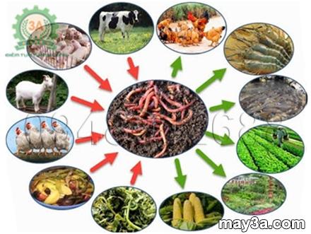 Nuôi lợn bằng giun quế - Hình ảnh giun quế và mối quan hệ của nó với cây trồng, vật nuôi