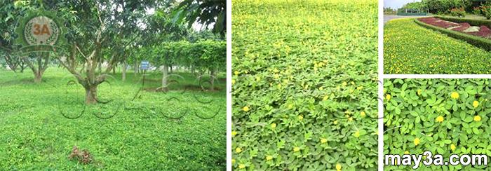 Kỹ thuật trồng cây lạc dại: Mô hình trồng xen canh cây xoài và cây lạc dại (bên trái), Cây lạc dại LD99 (bên phải)