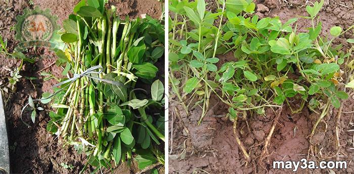 Kỹ thuật trồng cây lạc dại: Cành lạc dại giai đoạn bánh tẻ và cây lạc dại sau khi trồng