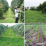 Kỹ thuật trồng cây lạc dại