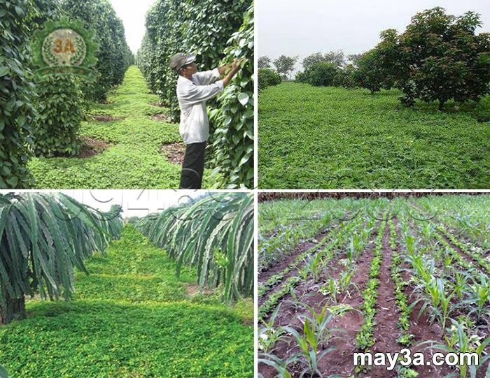 Kỹ thuật trồng cây lạc dại: Trồng lạc dại phủ vườn hồ tiêu, bơ, thanh long, ruộng ngô