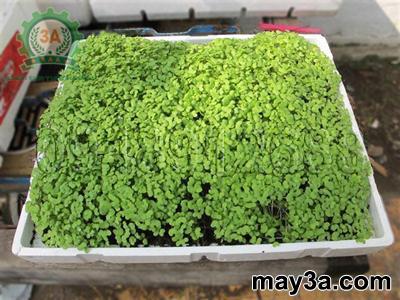 Kỹ thuật trồng rau mầm hiệu quả: Độ dày tầng giá thể trong khay: 2 - 3 cm có trải giấy ăn lên trên