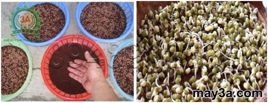 Kỹ thuật trồng rau mầm hiệu quả: Mật độ gieo mầm hạt củ cải đỏ (bên trái), hạt đậu xanh (bên phải)