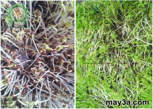 Kỹ thuật trồng rau mầm hiệu quả: Bệnh thối nhũn trên cây rau mầm