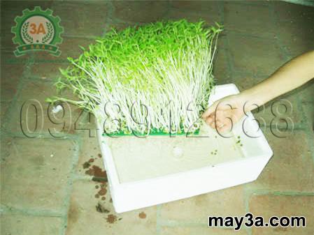 Kỹ thuật trồng rau mầm hiệu quả: Trồng rau mầm không dùng đất