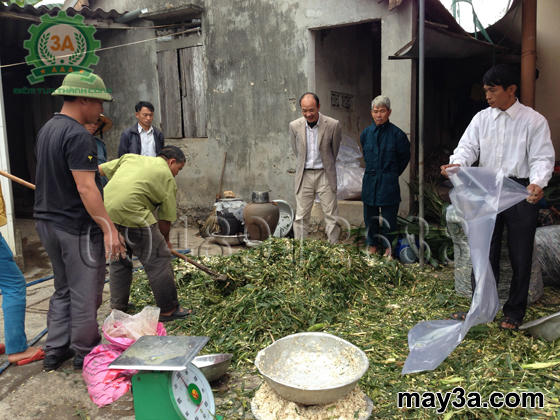 Ủ chua thân lá lạc dại làm thức ăn cho gia súc: Bà con đảo trộn các nguyên liệu