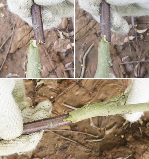 Vết cắt của Dụng cụ ghép cành cầm tay 3A (loại sử dụng khí nén)