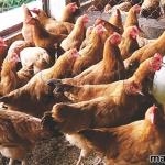 Cách chế biến thức ăn cho gà ta