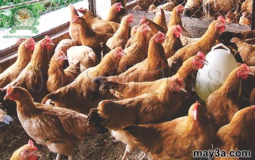 Cách chế biến thức ăn cho đàn gà ta