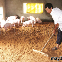 Cách làm đệm lót sinh học cho lợn: Bà con đang đảo trộn đệm lót sinh học