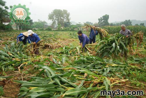Kỹ thuật trồng ngô sinh khối: Người dân đang thu hoạch cây ngô lấy thân để bán cho các trang trại nuôi bò