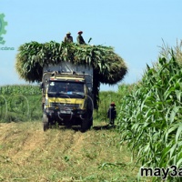 Kỹ thuật trồng ngô sinh khối: Xe chở cây ngô sinh khối về trang trại nuôi bò