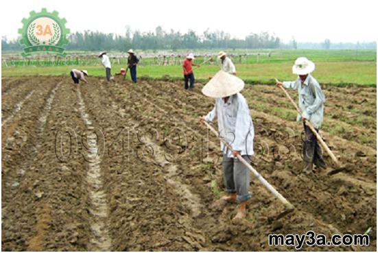Kỹ thuật trồng ngô sinh khối: Bà con lên luống trồng ngô