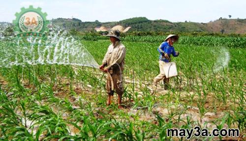 Kỹ thuật trồng ngô sinh khối: Tưới nước đúng theo nhu cầu sinh lý của cây ngô sẽ cho năng suất cao