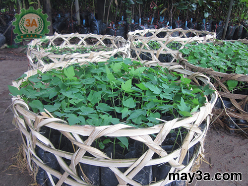 Kỹ thuật trồng cây đu đủ năng suất cao: Cây đu đủ giống