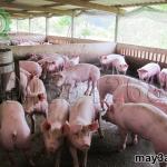 Bí quyết nuôi lợn thịt không dùng thuốc kháng sinh