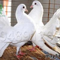Bí quyết trộn thức ăn cho chim bồ câu Pháp
