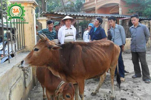 Kỹ thuật nuôi bò vỗ béo (02)